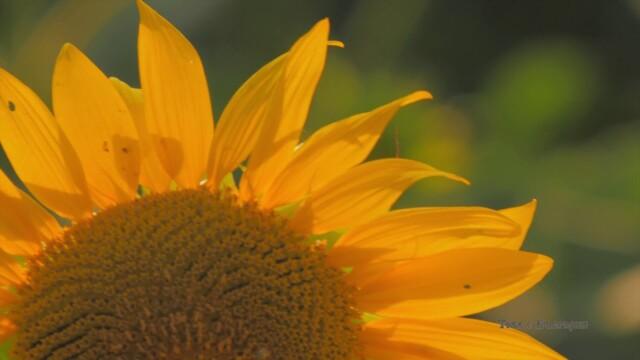 Слънчогледи -  Това е България