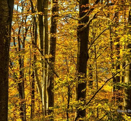 букови гори край Петрохан -  Това е България
