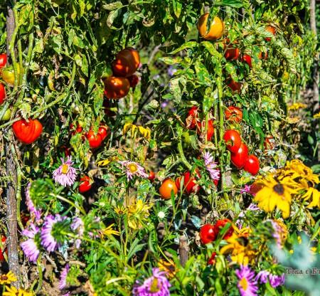 Селска градина с домати – Осиковска Лакавица -  Това е България
