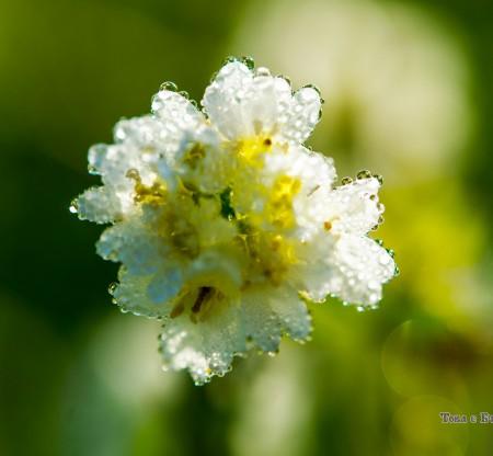 Пролетни цветя из Правешко -  Това е България