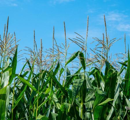 Вкусът на Мизия – царевица -  Това е България