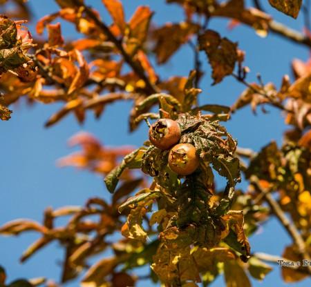 Родопска есен – мушмули -  Това е България