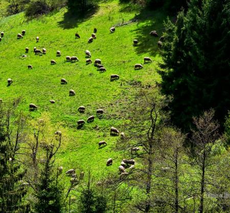Родопско стадо – село Хвойна -  Това е България